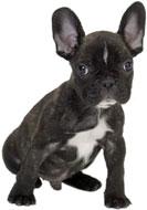 Le Bouledogue français, un petit chien à croquer !
