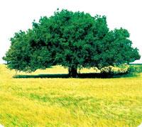 Soins à l'huile d'argan dans huile végétale arbre