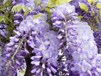 La glycine, reine des plantes grimpantes, offre de magnifiques grappes de fleurs mauves, violettes, bleutés qui embaument à des mètres à la ronde !
