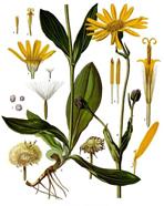 arnica montana remède homéopathique