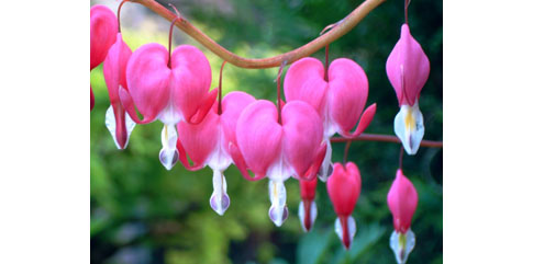 fleur coeur de marie