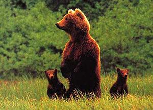 Introduction d'ours slovènes dans les Pyrénées