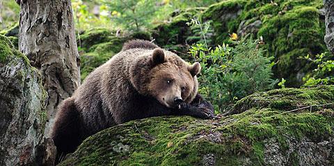 Polémique autour des ours