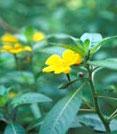 fleurs de jussie