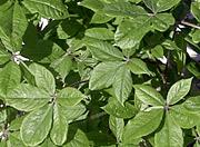Le Ginseng de Sibérie ou Eleutherocoque