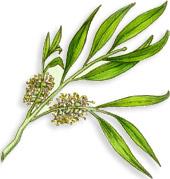 Arbre à thé : feuilles et fleurs